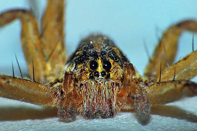 Photograph - Wolf Spider by Larah McElroy