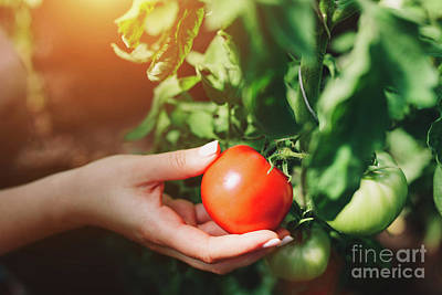 Photograph - Woman Picking Tomatoes From A Tree. by Michal Bednarek