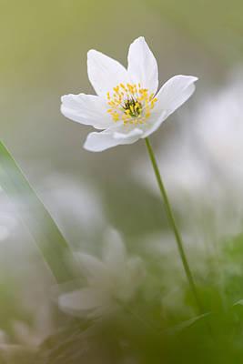 Woodland Flowers Photograph - Wood Anemone by Ian Hufton