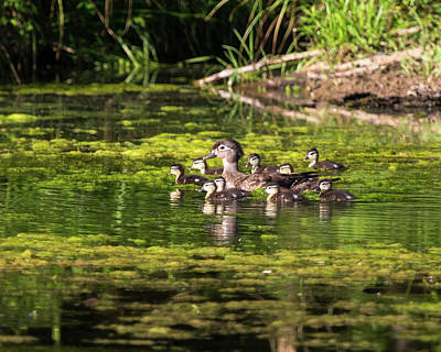Wood Duck And Ducklings Art Print