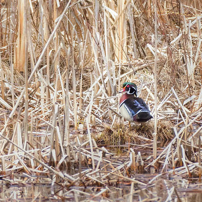Photograph - Wood Duck Drake 2018 Square by Bill Wakeley