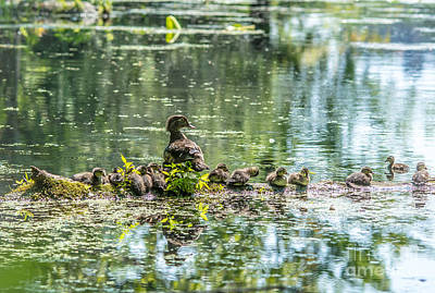 Photograph - Wood Duck Family by Cheryl Baxter
