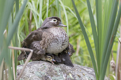 Animals Royalty-Free and Rights-Managed Images - Wood Duck Family by Mircea Costina Photography