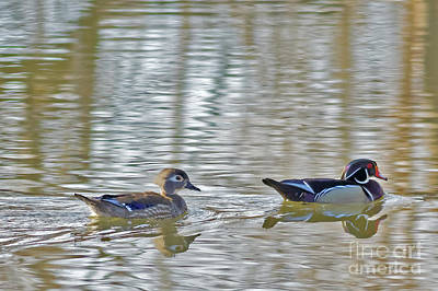 Photograph - Wood Duck Pair by Natural Focal Point Photography