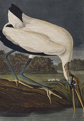 Stork Painting - Wood Ibis by John James Audubon