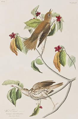 Red Flowers Drawing - Wood Thrush by John James Audubon