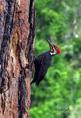Photograph - Woodpecker by Kevin Bohner