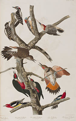 Woodpecker Painting - Woodpeckers by John James Audubon