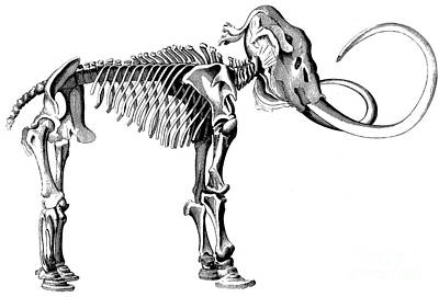 Woolly Mammoth Skeleton Art Print