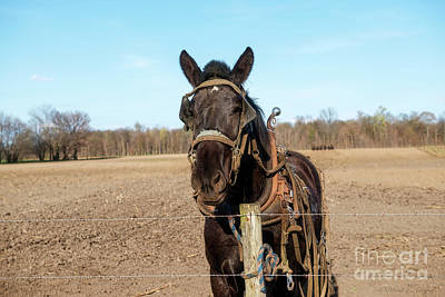 Photograph - Work Horse by David Arment