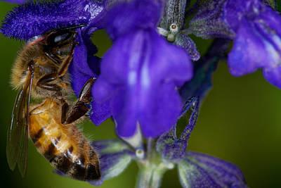 Photograph - Worker Bee by Jonathan Davison