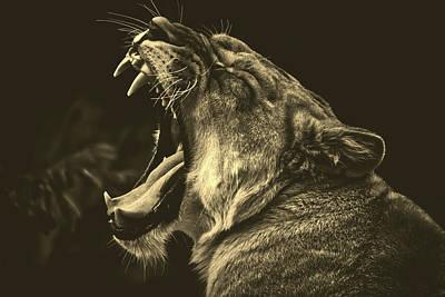 Photograph - Yawning Lion by Pixabay