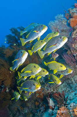 Photograph - Yellow And Blue Striped Sweeltip Fish by Mathieu Meur