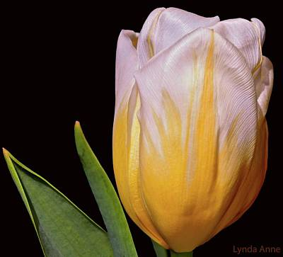 Photograph - Yellow And White Tulip  by Lynda Anne Williams