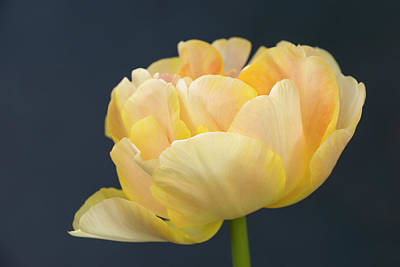 Photograph - Yellow Beauty by Inge Riis McDonald