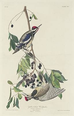 Woodpecker Drawing - Yellow-bellied Woodpecker by John James Audubon