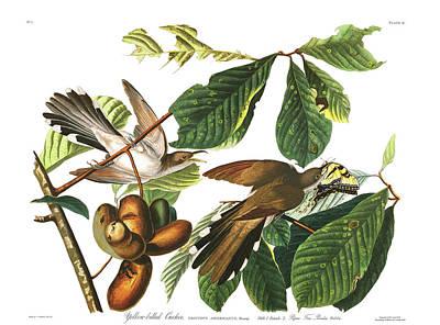 Cuckoo Wall Art - Painting - Yellow Billed Cuckoo by John James Audubon