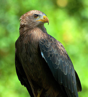 Yellow-billed Kite Art Print