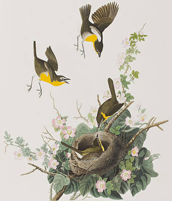 Chatting Drawing - Yellow-breasted Chat by John James Audubon