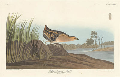 Painting - Yellow-breasted Rail by John James Audubon