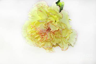 Photograph - Yellow Carnations by Elvira Ladocki
