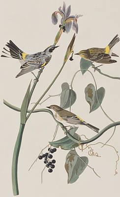 Warbler Painting - Yellow Crown Warbler by John James Audubon