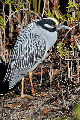 Photograph - Yellow Crowned Night Heron by Alan Lenk