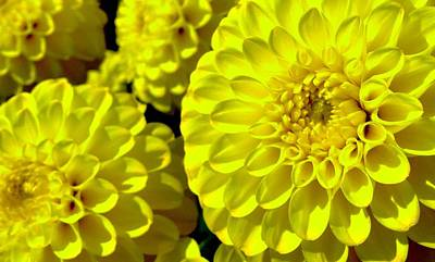 Photograph - Yellow Dahlia by Cesar Vieira