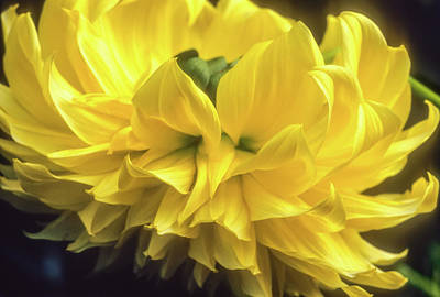 Photograph - Yellow Dahlia by John Brink