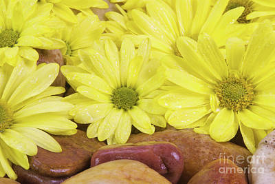 Photograph - Yellow Daisies On Wet River Rocks by Vizual Studio