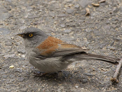 Madera Canyon Photograph - Yellow Eyed Junco by Jean Noren