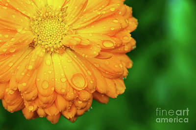 Photograph - Yellow Flower With Wet Petals On Green Background. by Michal Bednarek