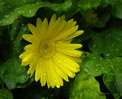 Photograph - Yellow Gerbera Daisy  by James C Thomas