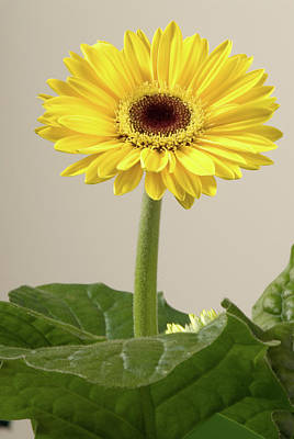 Photograph - Yellow Gerbera Daisy by JT Lewis