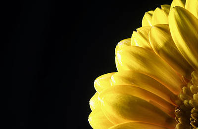 Photograph - Yellow Gerbera Flower by John Williams