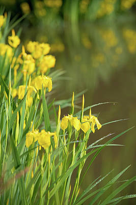 Photograph - Yellow Iris Flowers by Hans Engbers