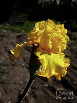 Photograph - Yellow Iris by Robert Bales