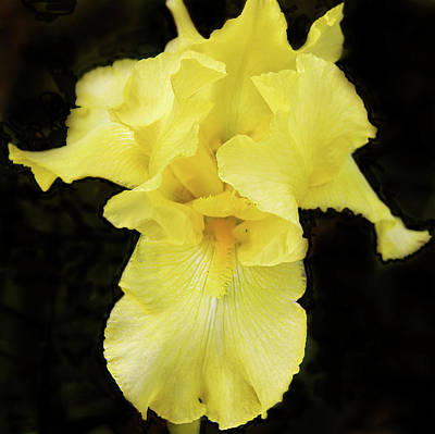 Photograph - Yellow Iris by Susan Crossman Buscho
