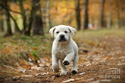Photograph - Yellow Labrador Retriever Puppy In Autumn Scenery by Waldek Dabrowski