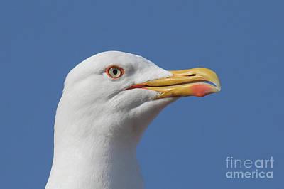 Photograph - Yellow-legged Gull - Larus Michahellis by Jivko Nakev