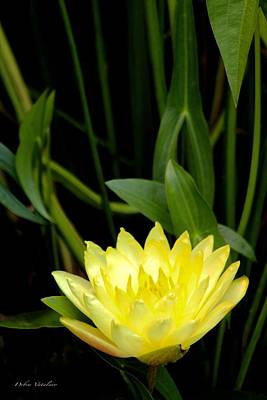 Photograph - Yellow Lotus by Debra     Vatalaro