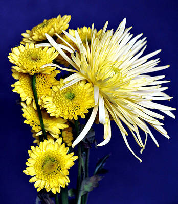 Photograph - Yellow Mums On Blue by Sheila Brown