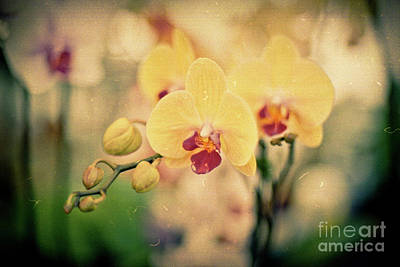 Photograph - Yellow Orchids by Ana V Ramirez