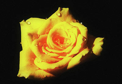Photograph - Yellow Rose by Cliff Norton