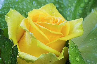 Photograph - Yellow Rose by David Hare