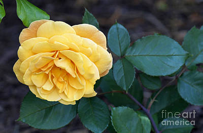 Painting - Yellow Rose by Debra Crank