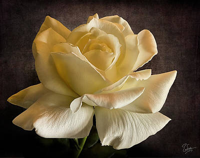 Photograph - Yellow Rose by Endre Balogh
