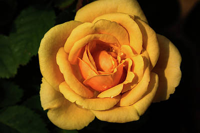 Photograph - Yellow Rose by Jay Stockhaus