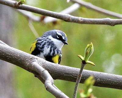 Colorful People Abstract Royalty Free Images - Yellow Rumped Warbler Royalty-Free Image by Arvin Miner