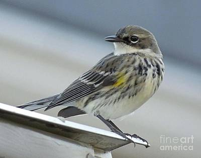 Photograph - Yellow Rumped Warbler by Lizi Beard-Ward